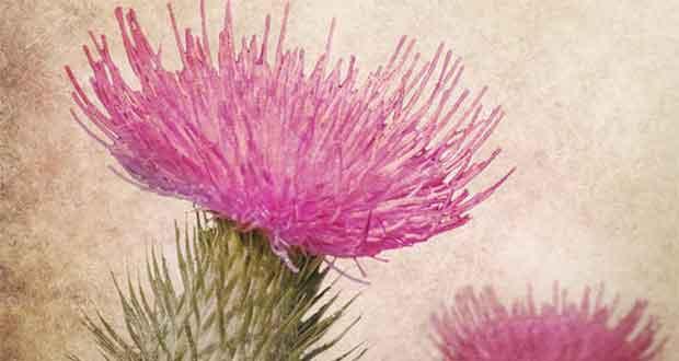 Die Bestimmung der purpurnen Distel